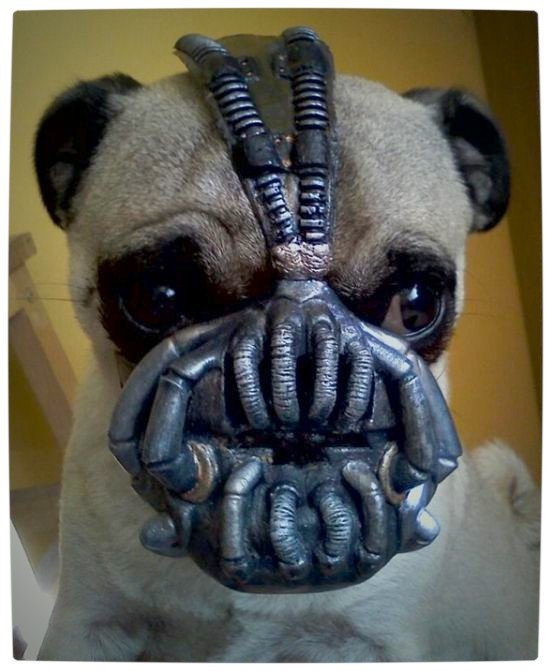 Vamers - Fandom - Batpug The Bark Knight - Banepug