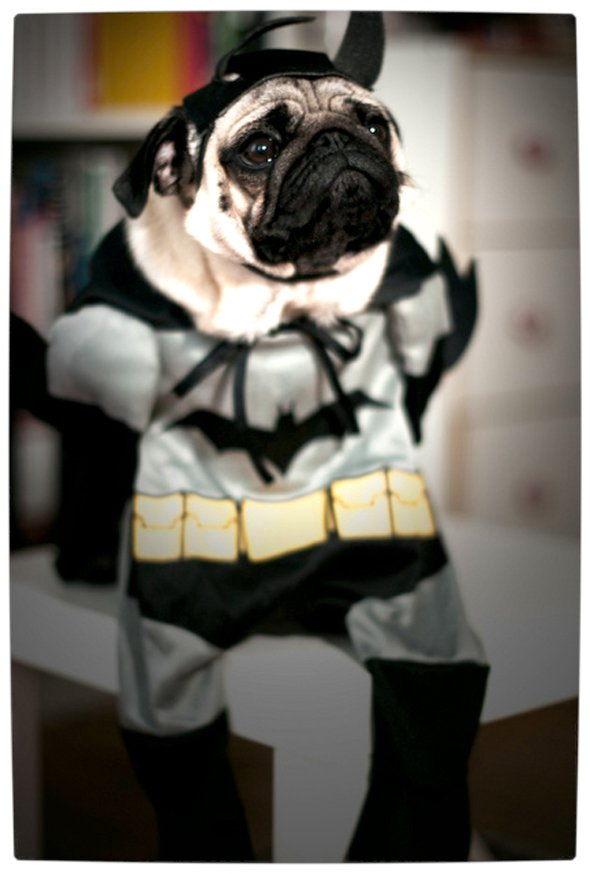 Vamers - Fandom - Batpug The Bark Knight - Batpug Classic