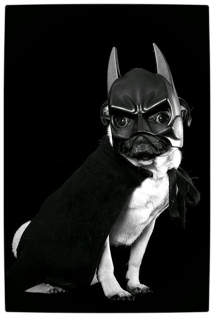 Vamers - Fandom - Batpug The Bark Knight - Batpug Returns