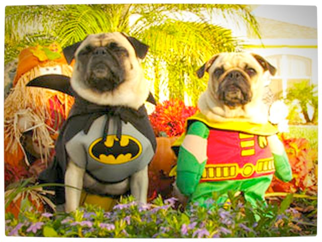 Vamers - Fandom - Batpug The Bark Knight - Batpug and Robinpug