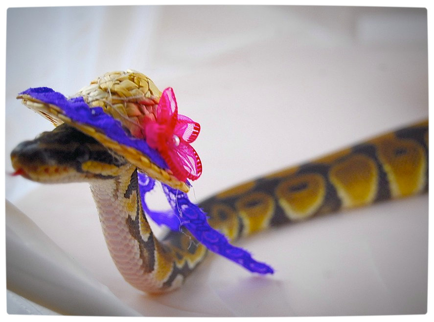 Vamers - Ermahgerd - Forget Snakes on a Plane, It Is All About Snakes Wearing Hats - Colourful Beach Hat Snake