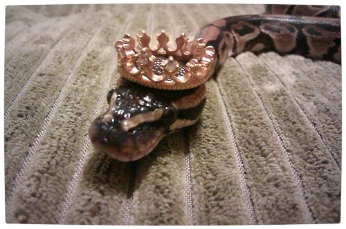 Vamers - Ermahgerd - Forget Snakes on a Plane, It Is All About Snakes Wearing Hats - Crowned Snake